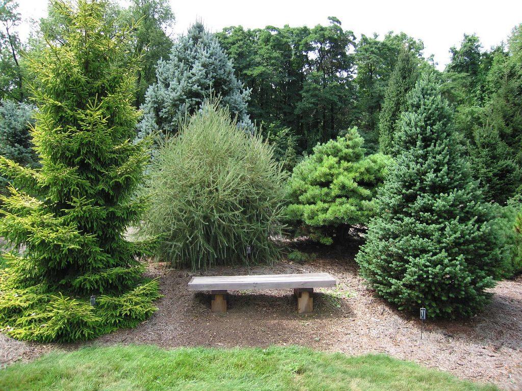хвойные деревья: ели, пихты, сосны, можжевельник