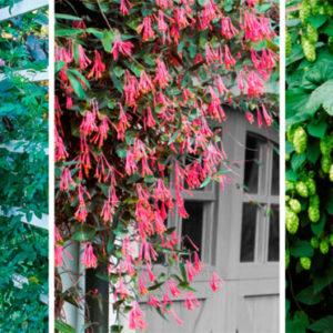 Вьющееся растение для забора, многолетнее