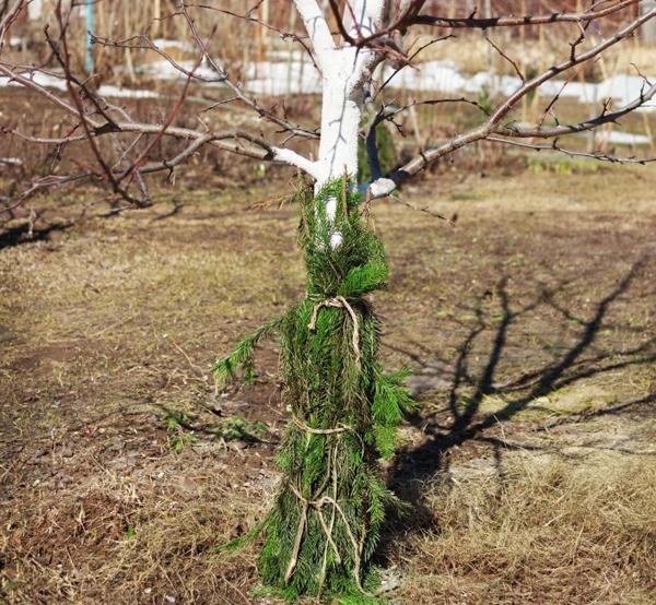 Молодые яблони укутывают еловым или сосновым лапником