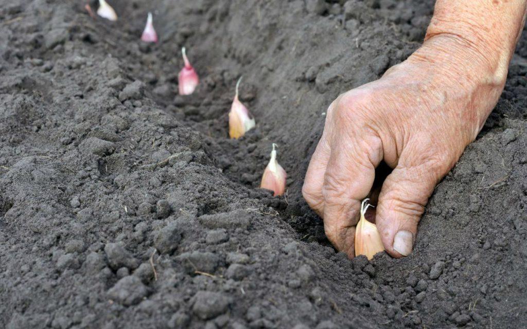 Как правильно посадить озимый чеснок осенью?