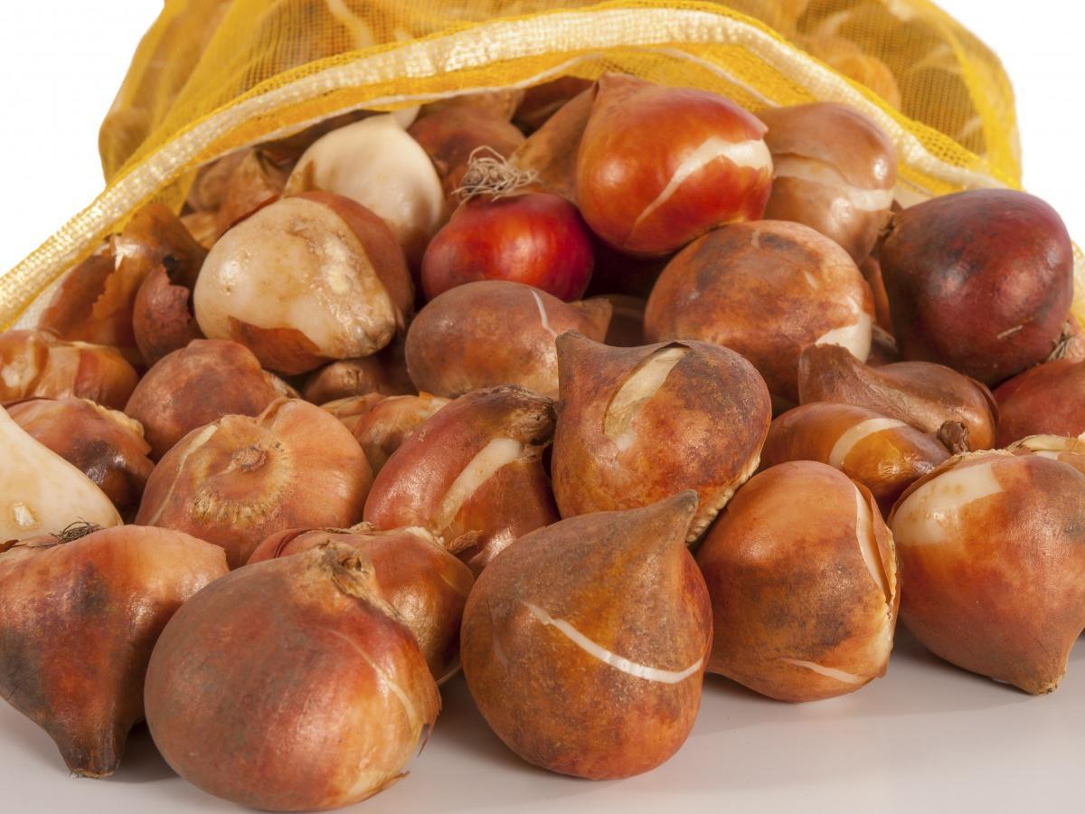 Как собрать луковицы тюльпанов