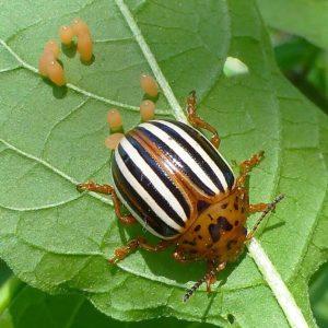 Колорадский жук откуда взялся в России