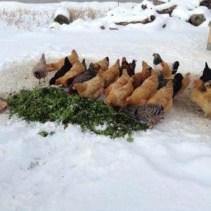 как ухаживать за курами зимой
