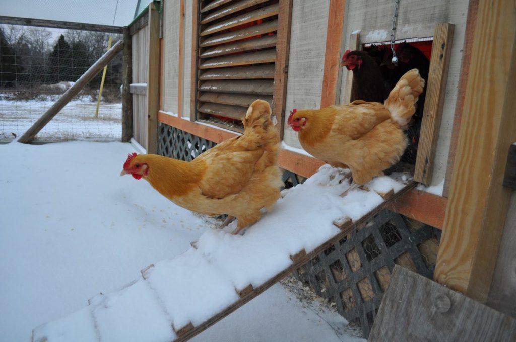 кормление кур в зимний период