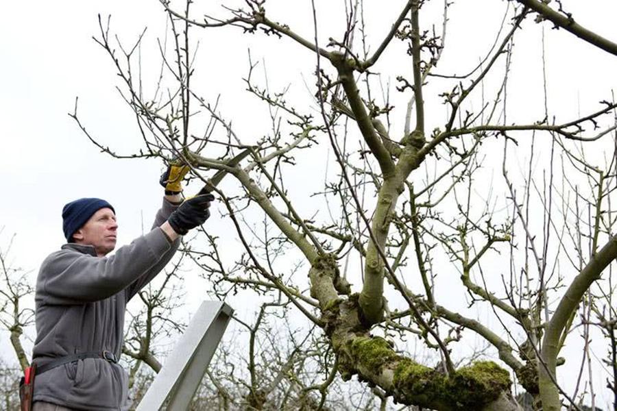 санитарной обрезки кустарников и плодовых деревьев, удаляя поврежденные либо слабые ветви.