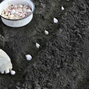 Подготовка почвы под чеснок для посадки осенью
