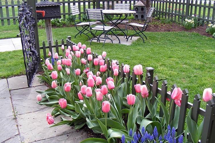 Как сажать тюльпаны весной в открытый грунт